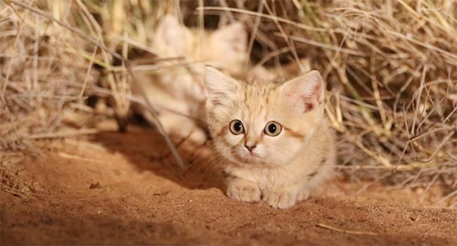 gatto delle sabbie