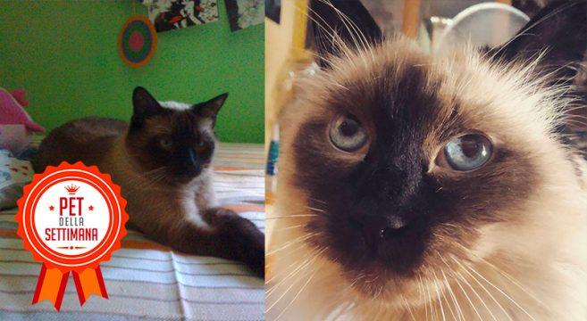 Pet della settimana gatto