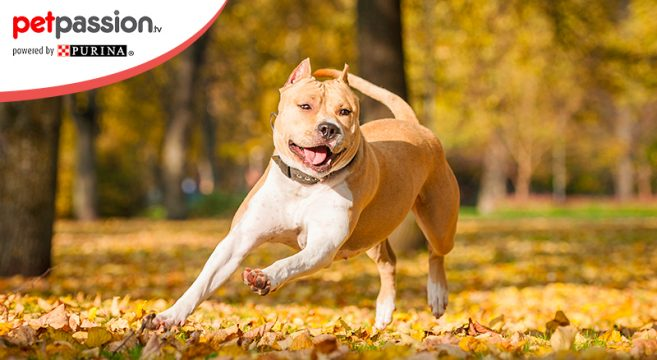 14.03_-American-Staffordshire-Terrier