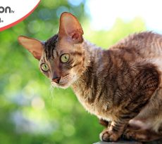 gatto di razza Cornish Rex