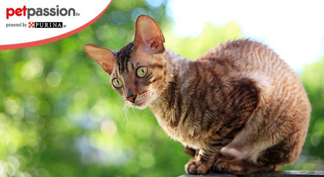 gatto di razza Cornish Rex