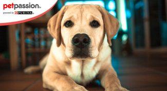 Letargia del cane