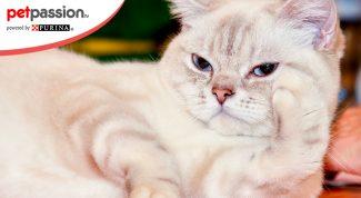 Gatti Di Razza Tutto Sul Mondo Felino