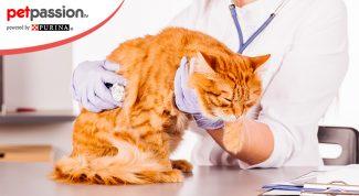 Diabete del gatto