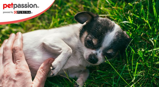 Perchè i cani hanno la pancia gonfia