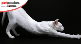 Foreign white cat