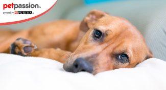 Torsione gastrica nel cane