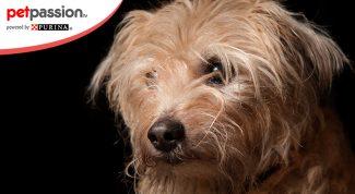 Smoushound olandese