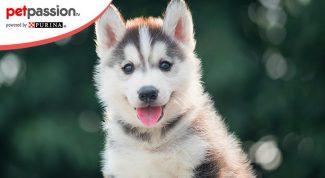 Cuccioli di Husky