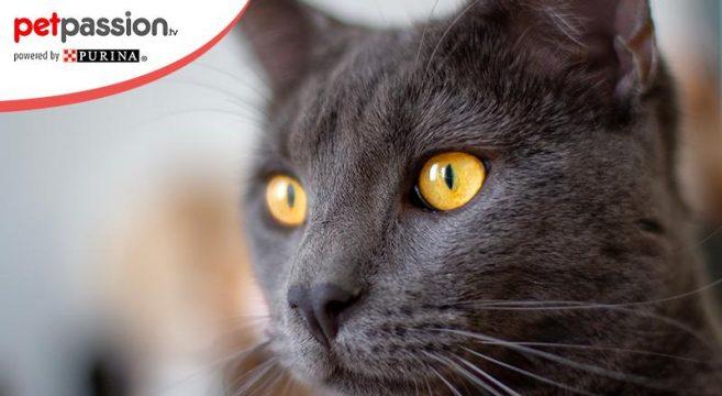 Certosino gatto