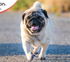 cane-carlino-obeso-passeggio