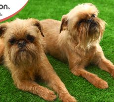 cane Griffon coppia