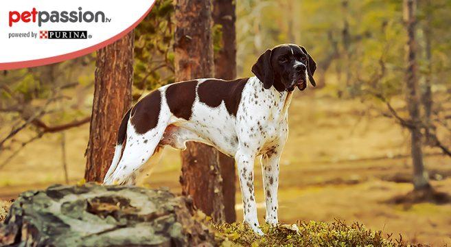 pointer inglese cane