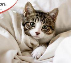 orecchie calde nel gatto