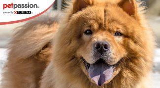 Cani con la lingua blu: Chow Chow