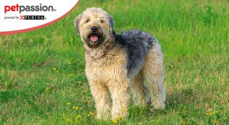 Razze di cani: Soft Coated Wheaten Terrier