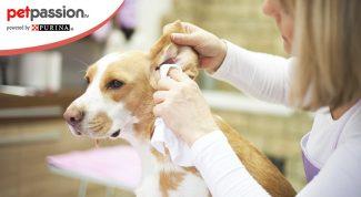 Pulire orecchie cane