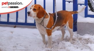 Beagle Harrier razza