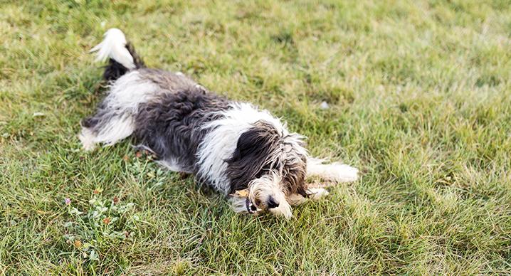 Pastore catalano cane