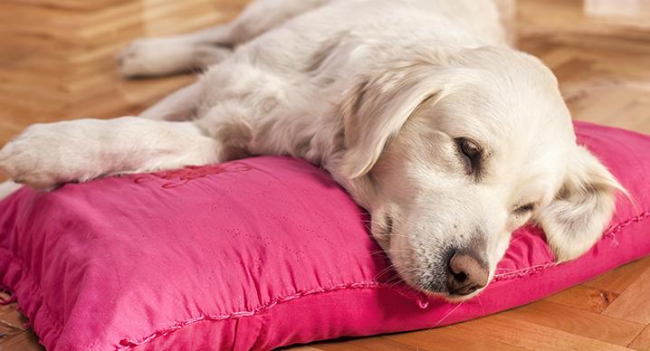 Sintomi e cause della forfora nel cane