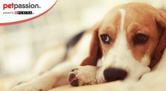 Cane vomita giallo sintomi e cure