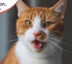 cure stomatite gatto