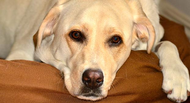 Riconoscere la displasia all'anca del cane