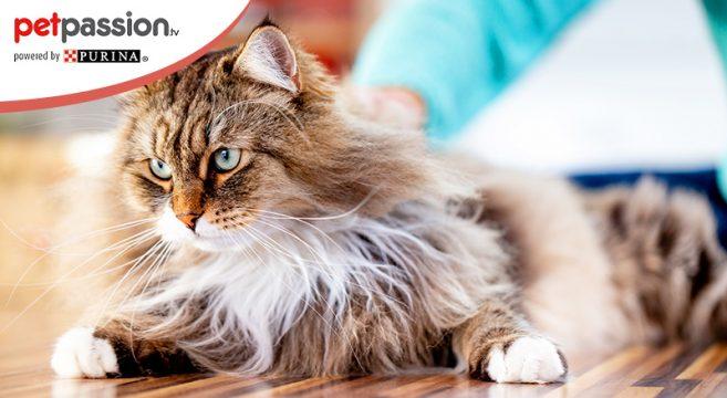 Allergia ai gatti, razze ipoallergeniche