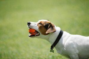 cani-di-razza-jack-russell-terrier