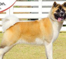Cane di razza Akita americano