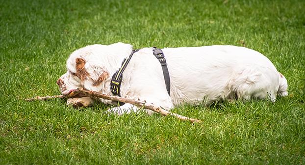 Cluber Smaniel cane di razza