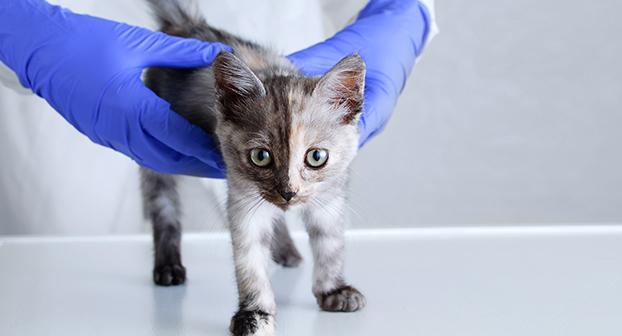 Coccidiosi gatto: veterinario