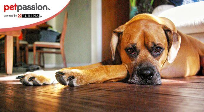 Sintomi pancreatite nel cane