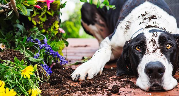 Piante da giardino e interni velenose cane