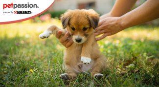 Cucciolo parvovirosi cane