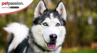 Cane di razza husky