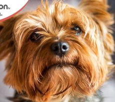 Yorkshire Terrier razza