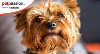 Yorkshire Terrier razza