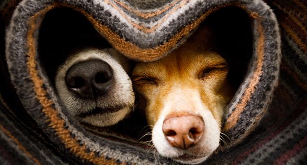 Cani in calore convivenza