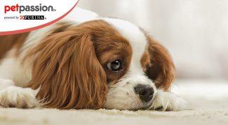 Gastroenterite nel cane