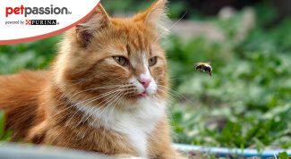 Puntura ape gatto