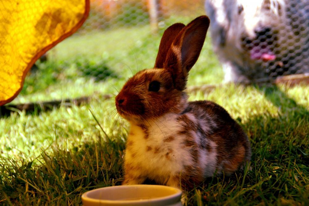 Recinto coniglio nano