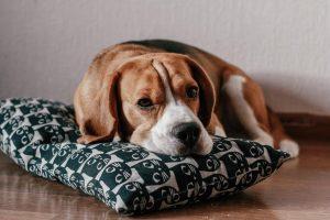 cane annoiato sintomi rimedi